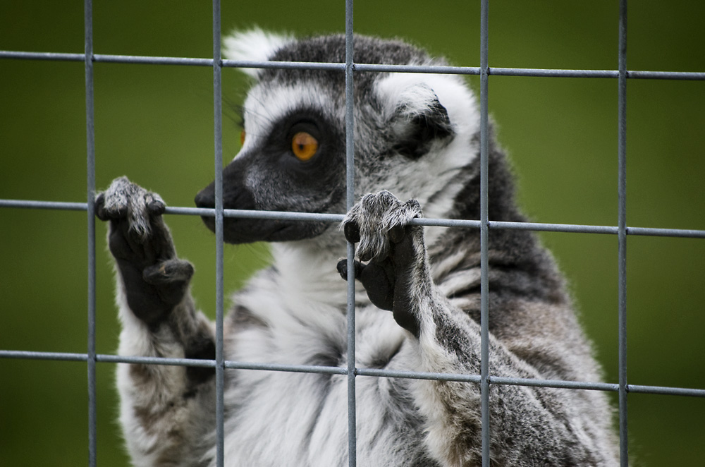 i'm a lemur... get me out of here