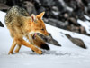 fox-in-the-snow